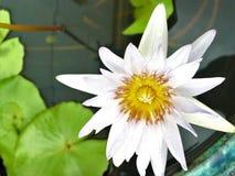 Water lilyNymphaeaceaelotus flower beautiful blooming on top veiw. stock image