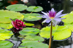 Water Lilys. Bright pink and purple water lily on a calm pond with bright green lily pads Stock Image