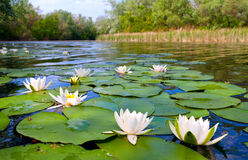 Water lilys on pond Royalty Free Stock Photo