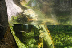 Water lizard. In L'Aquarium de Barcelona or Aquarium of Barcelona - Spain Stock Photo