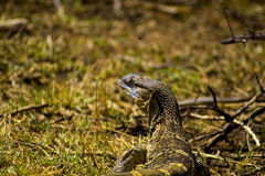 Water Lizard scouting for food Stock Photos