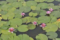 Water lotus Royalty Free Stock Images