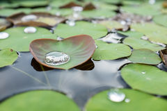 Water on a lotus leaf Royalty Free Stock Images