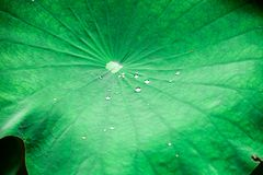 Water on lotus leaf stock photography