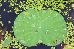Water on lotus leaf Royalty Free Stock Images