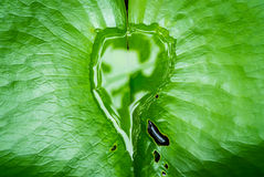 Water on Lotus leaf. Heart shape Stock Photography