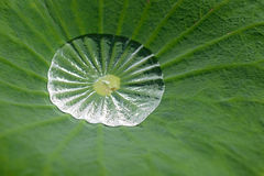Water on lotus leaf Royalty Free Stock Photos
