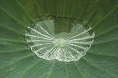 Water on lotus leaf. Section crop of the leaf Royalty Free Stock Photography