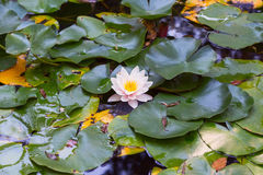 Water Lotus Lily Flower. Water Lotus Pink white Lily Flower Royalty Free Stock Photography