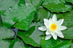 Water lotus wallpaper Stock Image