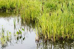 Water and marsh grounds. Pond wetland and a thicket of a wild cane and a sedge Stock Photo