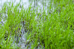 Water meadow with bright fresh green grass Stock Photos