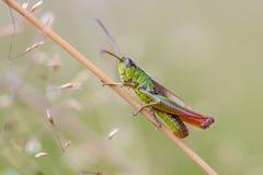 Water meadow grasshopper. Water-meadow grasshopper (Chorthippus montanus) close up on a grass stem Royalty Free Stock Photos