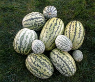 Water mellon Harvest Royalty Free Stock Photo