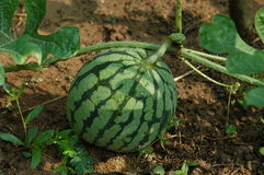 Water melon. A water melon in the farms stock images