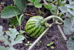 Water-melon. The small water-melon grows and ripens on a kitchen garden Royalty Free Stock Image