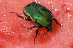 Water Melon Beetle Stock Photography