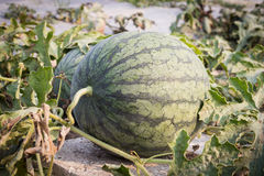 Water melon in farm. Royalty Free Stock Image