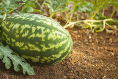 Water melon. On filed, fruit Stock Photography