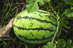 Water melon in the land Royalty Free Stock Photo