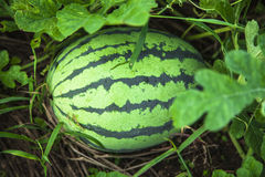 Water melon in the land stock photo