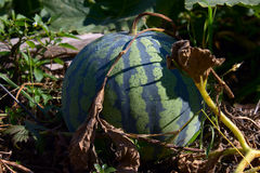 Water-melon striped on a melon field Stock Images