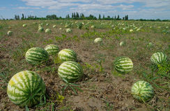 Water-melons in the field. Crop of water-melons Stock Photos