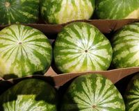 Water melons. Ripe water melons displayed for sale royalty free stock photo