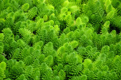 Water Milfoil Stock Photos