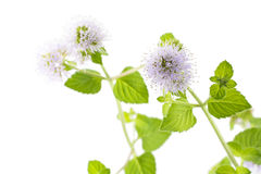 Water mint flower Stock Photo