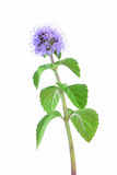 Water Mint Royalty Free Stock Photo