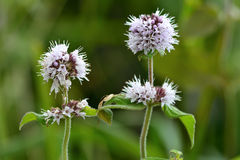 Water mint (Mentha aquatica) royalty free stock photo