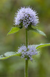 Water Mint royalty free stock images