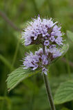 Water Mint. Mentha aquatica Royalty Free Stock Photography