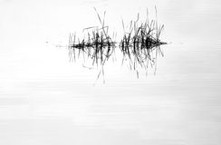 Water mirror and reed. With reflection in black and white Stock Images