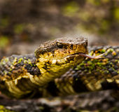 Water Moccasin Royalty Free Stock Images