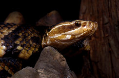 Water Moccasin (Agkistrodan piscivorus) Stock Photography
