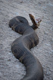 Water Moccasin Stock Photography
