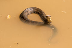 Water moccasin with head out of water Stock Photo