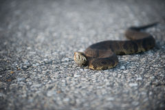 Water moccasin on the road Stock Photo
