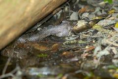 Water moccasin snake swallowing fish at swamp Royalty Free Stock Image
