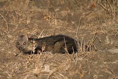 Water Mongoose. (Marsh Mongoose), night safari South Luangwa, Zambia Africa Stock Photos
