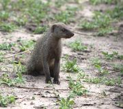 Water mongoose Royalty Free Stock Photography