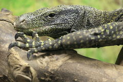 Water monitor Royalty Free Stock Images