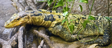 Water monitor 3 Royalty Free Stock Photography