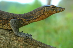 Water monitor. Profile of water monitor sitting on a branch on the banks of the Kinabatangan river in Borneo Stock Photography