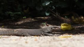 Water monitor. Asian water monitor, Varanus salvator, is resting out in the open at Bukit Timah Nature Reserve in Singapore Conservation status: Least concern stock footage