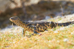 Water monitor Royalty Free Stock Image