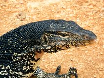Water monitor & claw Stock Images