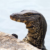 Water monitor Stock Images